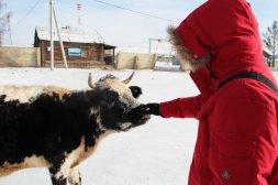 Coucou la vache qui se promène dans le village