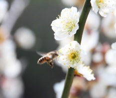 abeille chinoise