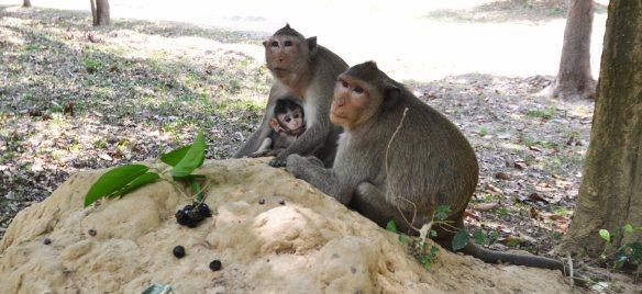 gentille famille de singes angkor