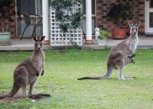 Les kangourous de Grafton dans les pelouses de la banlieue chic !