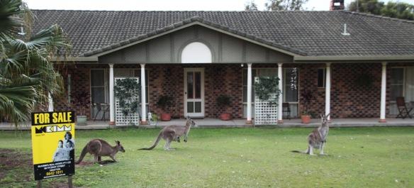kangourous2